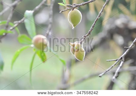 Peach Plant Or Peach Tree, Prunus Persica Or Prunus Persica Tree