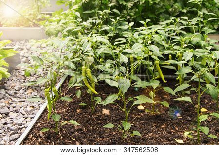 Young Pepper Plants With Long Green Fruits Grow In The Summer On A Vegetable Patch, The Concept Of O