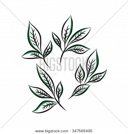 Set Of Isolated Sketches Of Ceylon Or Indian Tea Leaves. Organic Plant For Drink Spice Or Ingredient