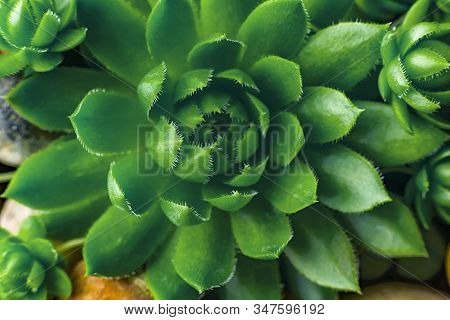 Macro Of The Succulent. Meaty Juicy Green Succulent Petals
