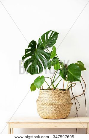 Monstera Home Potted Plant Front View, Home Gardening Concept Or Interior Foliage Decoration Concept