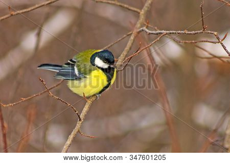 Great Tit (passeriformes Order) Sits On A Tree Branch Of A Winter Forest
