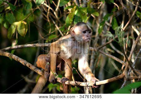 White Fronted Capuchin In The Jungle, Amazon, Brazil.