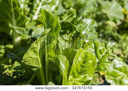 Nice Chard Leaves In Agriculture Field Organic Chard Leaves In Agricultural Feield.