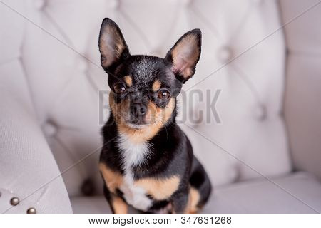 Mini Black Beige White Chihuahua On Grey Sofa. Black Brown White Chihuahua. A Pet Is Sitting At Home
