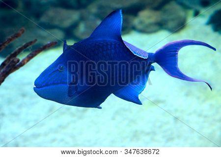 Odonus Niger, Redtooth Triggerfish In The Sea Water