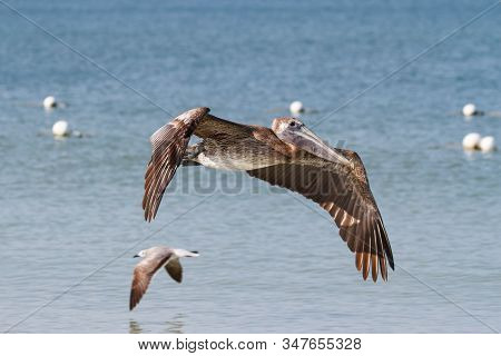 Flying Brown Pelican With A Blue Sky Off The Coast Of Florida