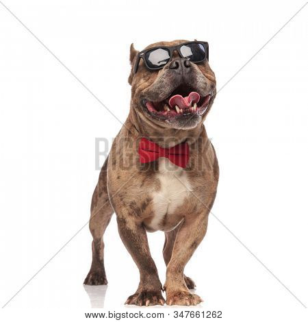 happy american bully wearing sunglasses and red bowtie, panting and sticking out tongue, smiling and standing isolated on white background, full body
