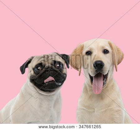 team of two dogs, pug and labrador retriever, panting and sticking out tongue on pink background