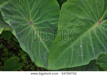 Taro Kalo Leaves