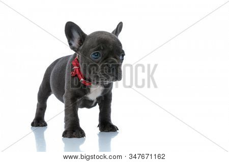 Bothered French bulldog puppy looking away and being afraid while wearing a red collar and standing on white studio background