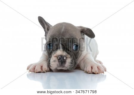 Bothered French bulldog puppy looking while laying down on white studio background