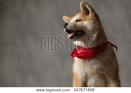wonderful Akita Inu dog wearing red bandana sitting and looking pensive to a side on gray studio background