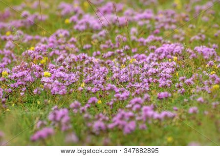 Beautiful Floral Background With Pink Flowers Of Wild Thyme (thymus Lamiaceae) On A Meadow In The Mo