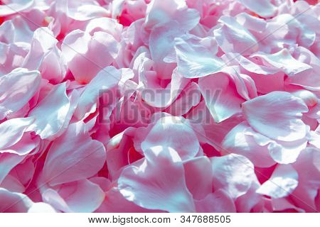 Beautiful Soft Sentimental Pink Dog-rose Petals Backround With Waterdrops For Design
