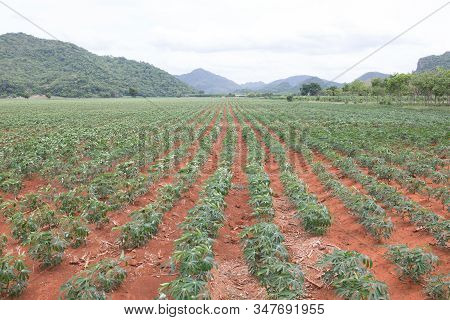 Rows Of Young Cassava Plant In Countryside Farmland In Thailand