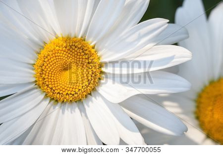 Blooming Oxeye Daisy (leucanthemum Vulgare) Flowers. Summer Blossom. Close-up.