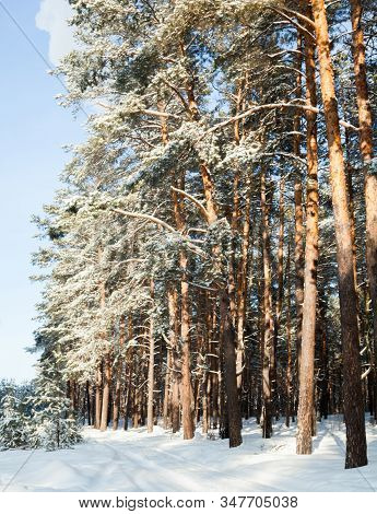Dirt Road In A Coniferous Winter Forest In A Sunny Day. Dirt Road Covered With Snow. Wheel Ruts On T