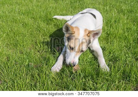 Cross-breed Of Hunting And Northern Dog Playing With Its Favorite Bone While Lying On A Green Lawn