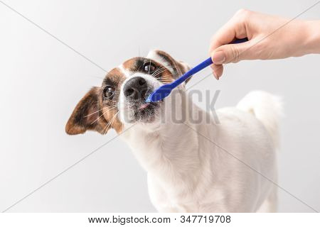 Owner Cleaning Teeth Of Cute Dog With Brush On Light Background