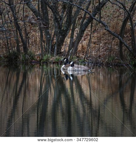 For Each Of The Past 8 Years, A Pair Of Geese Have Returned To Our Pond.  We Like To Think It's The