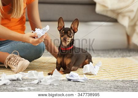 Beautiful Young Woman Scolding Cute Toy Terrier Dog For Making Mess At Home