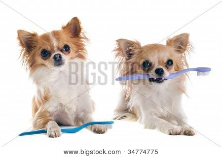 portrait of purebred chihuahuas with toothbrush in front of white background poster