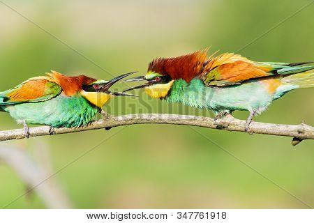 Colored Bee-eater Conflict Sitting On A Branch