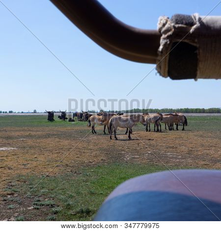 Aurochs And Wild Horses Stand In The Field In The Hortobagy National Park In Hungary Look In A Car