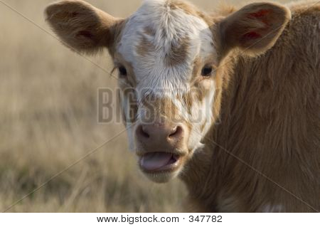 Baby Cow In Profile