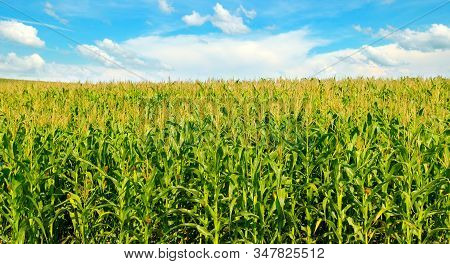Green Corn Field And Blue Sky. Agricultural Landscape. Wide Photo.
