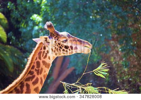 January 27, 2020 In Santa Barbara, Ca:  Giraffe Eating A Branch With Leaves Taken At The Santa Barba