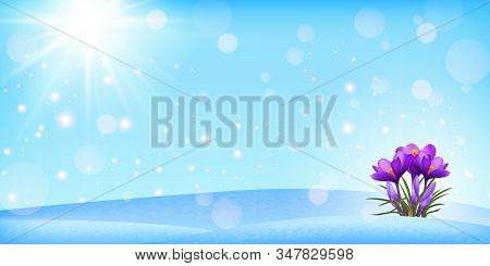 Flowers Purple Crocus In The Snow, Spring Landscape. Panorama. Crocus Flowers In The Snow. The Rays