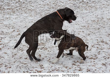 Italian Mastiff Puppy And Amstaff Puppy Are Playing In The Winter Park. Pet Animals.