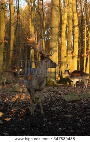 The Fallow Deer (dama Dama) A Male Standing On The Edge Of A Deciduous Forest With Females In The Ba