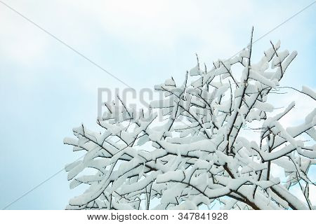 A Low Angle Close Up Shot Of A Leafless Tree Withstanding A Hard Winter, Heavy Snow Lies On Branches