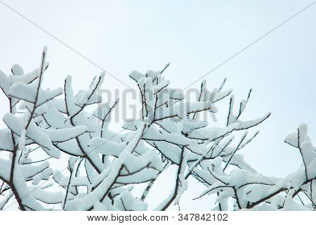 A Close Up And Low Angle View Of Heavy Fallen Snow Lying On Tree Branches And Twigs After A Winter S