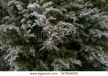 Juniper Under The Snow.pine Branch On Hoarfrost. Winter Photo Of Trees. Blank For Designers.spruce O