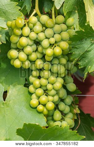 Bunch Of Ripe Green Table Seedless Grapes Growing In Organic Vineyard