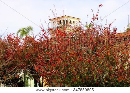 January 27, 2020 In Santa Barbara, Ca:  Deciduous Trees Changing Colors During Autumn With The Spani