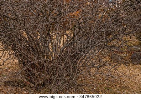 Large Leafless Barren Thorny Bush With Tangled Branches.