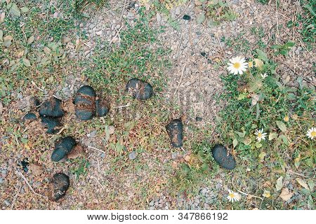 Horse Dung Or Manure. Horse Dung. Horses Apple On The Grass.