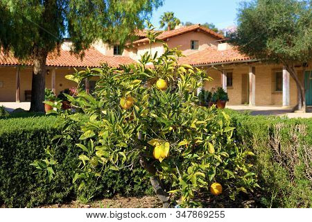 Lemon Tree With Fresh Lemons At A Garden On A Courtyard Surrounded By A Historical Spanish Style Ado