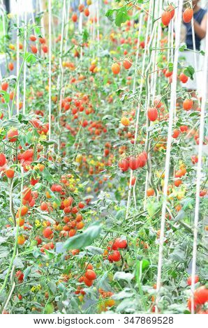 Branches Of Red Fresh Organic Tomato Farming In Green House, Agriculture And Food Concept, Selective
