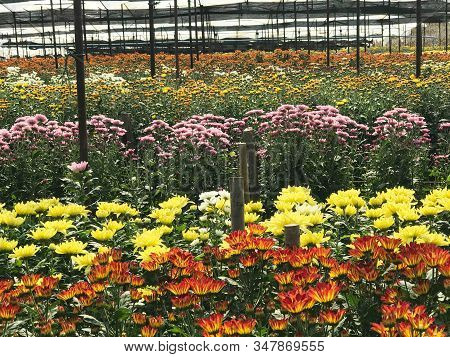 Multicolor Of Beautiful  Daisy Or Chrysanthemum Filed Under Greenhouse Nursery For Background And Te