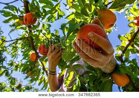 Low Angle And Close Up View Of Womans Hand Picks Peach Fruit From The Bottom Of The Tree Branch, Pic
