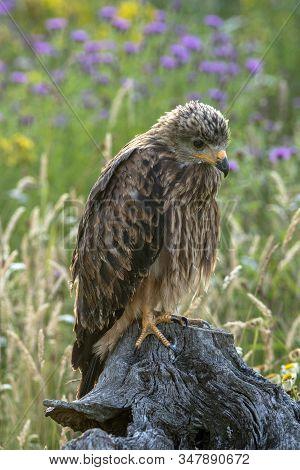 Juvenile, Bird, Kite, Nature, Prey, Wildlife, Red, Raptor, Wild, Eye, Animal, Background, Beautiful,