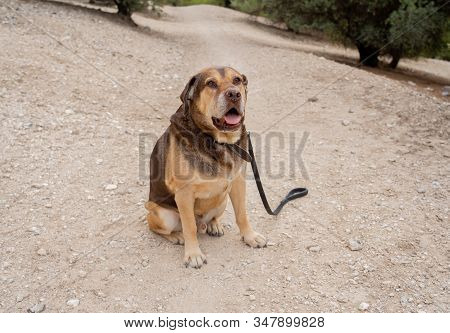 Portrait Of Old Big Dog In The Park