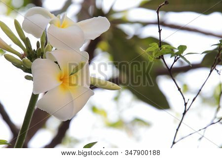 Beautiful Group Of White Plumeria (frangipani) Blooming In The Morning,bright White Yellow Plumeria
