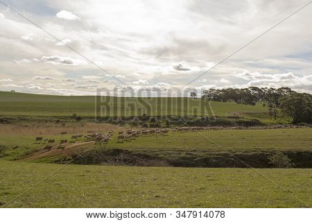 Sheep In The Rural Paddocks Around St Kitts, South Australia.